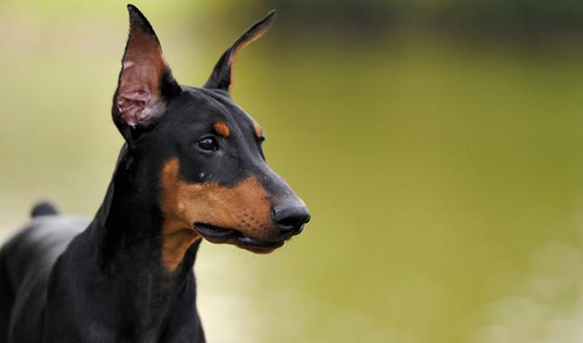 عکس سگ دوبرمن