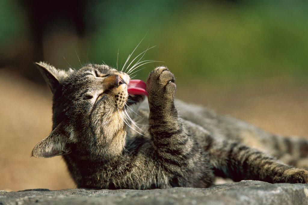 چرا گربه بالا می آورد
