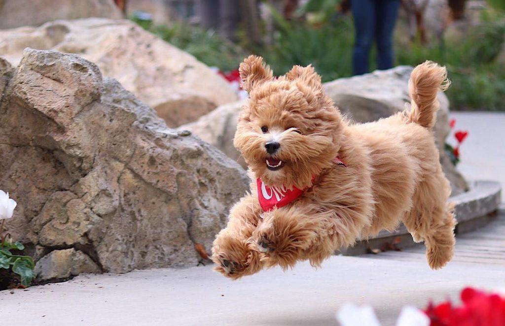 سگ شیتزوکراس