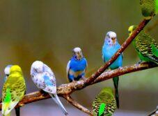 راهنمای کامل نگهداری از مرغ عشق (غذای مرغ عشق، دستی کردن مرغ عشق، خرید مرغ عشق و ...)