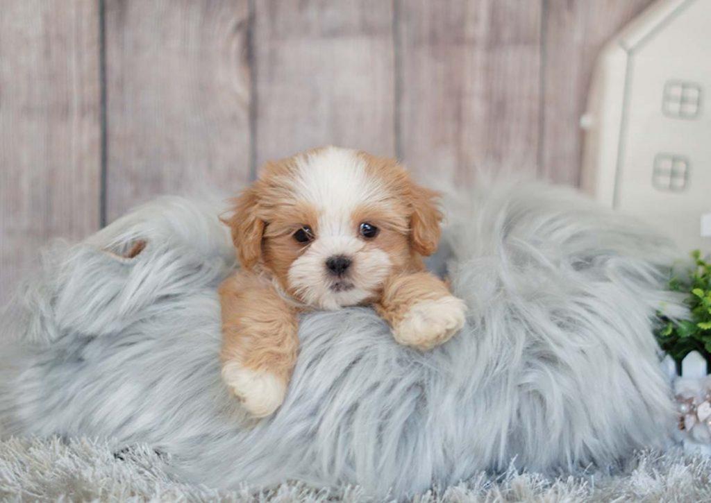 سگ شیتزو مالتیز