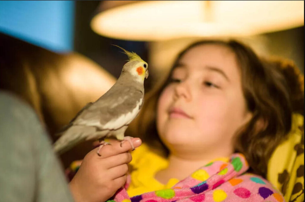 طوطی عروس کوکاتیل روی انگشتن دختر بچه