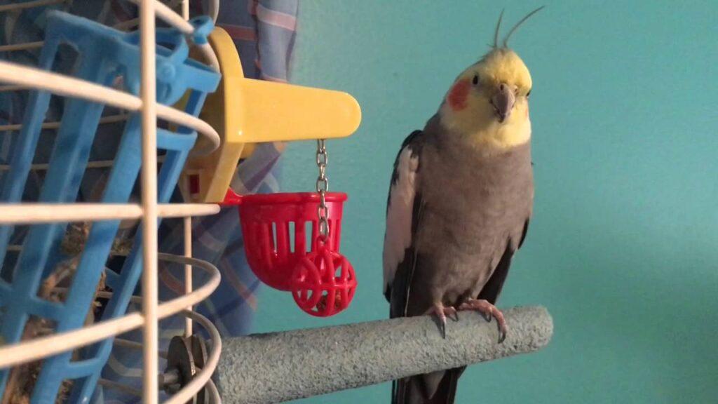 طوطی کوکاتیل در حال استراحت بیرون از قفس