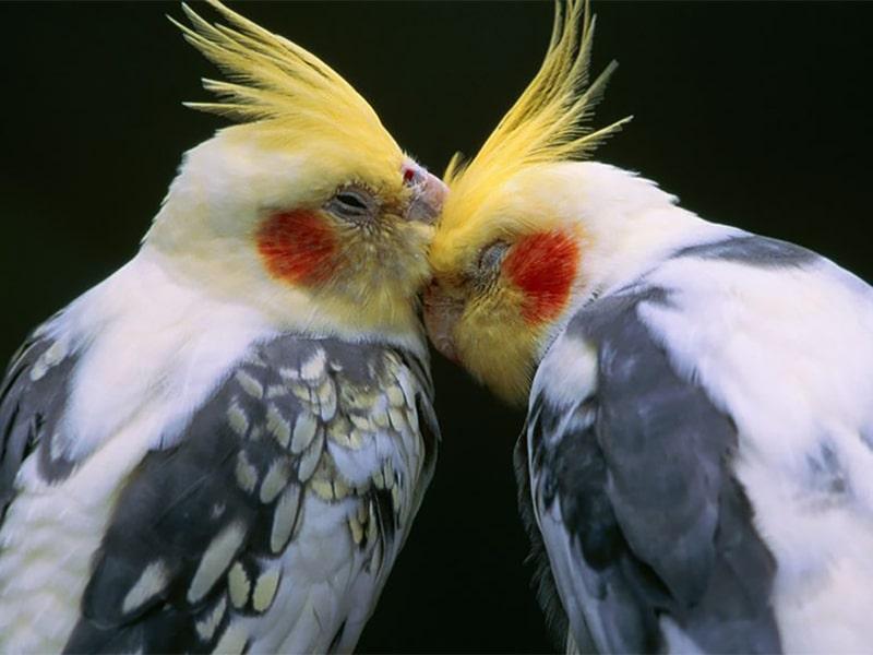 عکس طوطی عروس ابلق