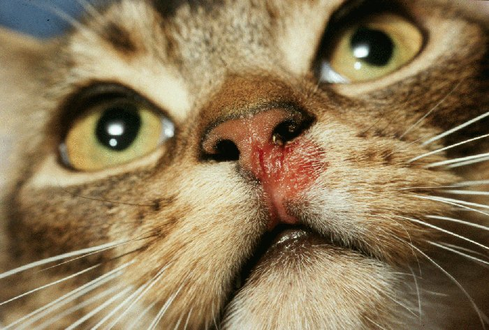 کلسی ویروس گربه