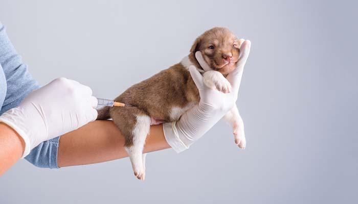 پارواویروس سگ