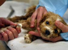 راهنمای جامع بیماری پاروا در سگ ها + درمان و پیشگیری