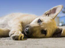 همه چیز درباره بیماری دیستمپر در سگ ها و راه های پیشگیری از آن