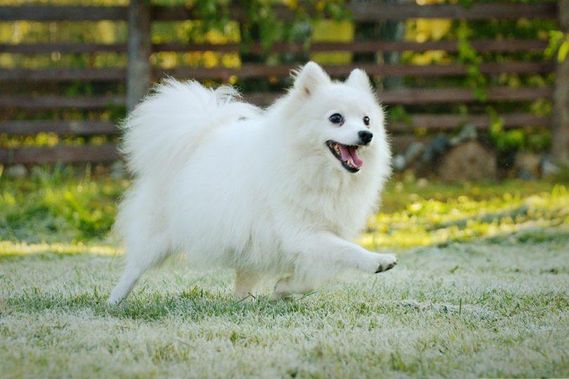 سگ اشپیتز