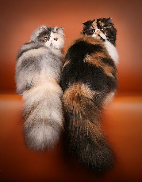 گربه ایرانی