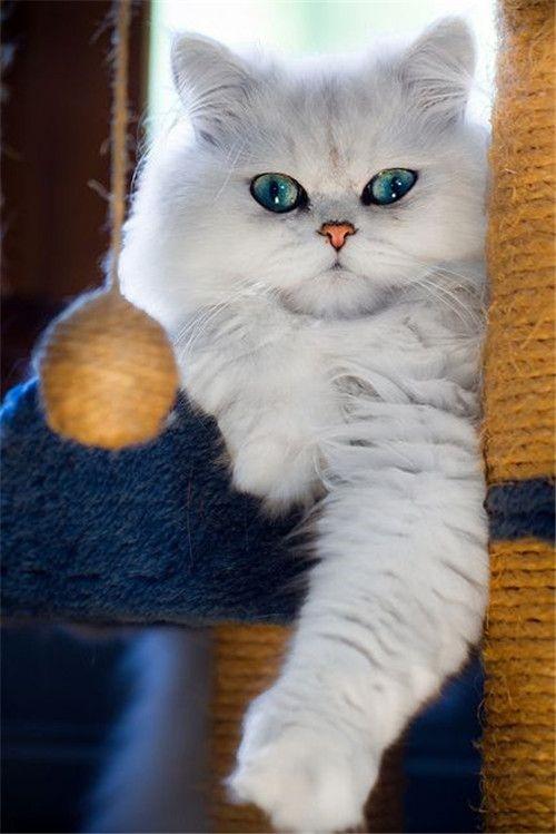 پرشین کت چشم آبی