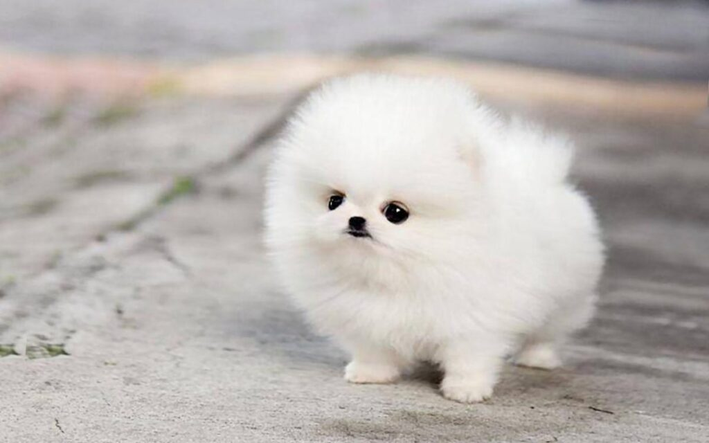 سگ پامرانین عروسکی