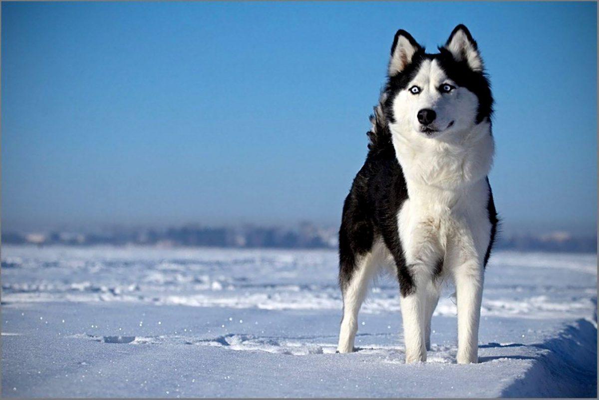 سگ هاسکی در قطب