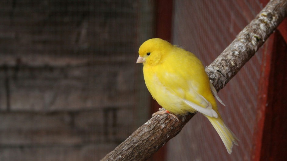 قناری زرد خوشگل