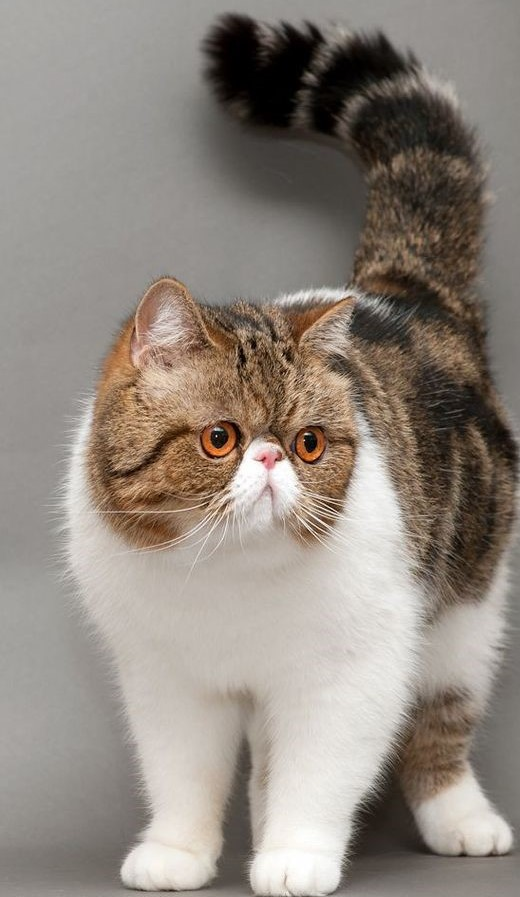گربه پرشین اگزاتیک
