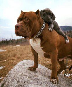 سگ پیتبول باتوله اش
