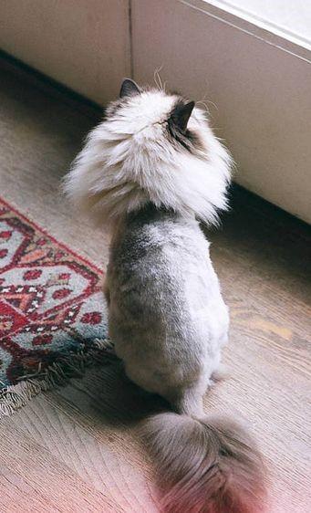 مدل مو گربه پرشین
