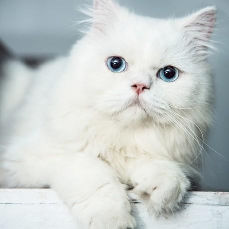گربه پرشین کت