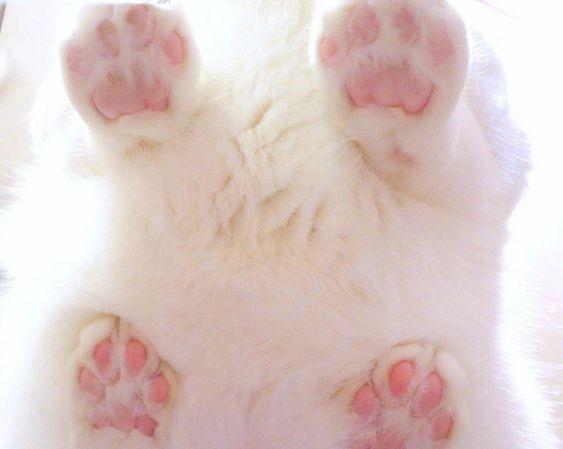 پنجه گربه