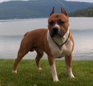 سگ پیت بول در طبیعت