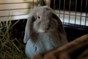 خرگوش لپ خاکستری تپل