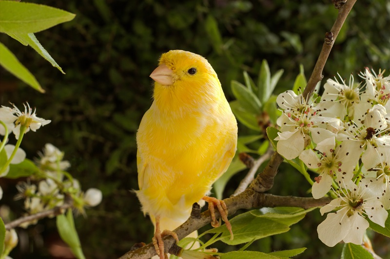 قناری زرد زیبا