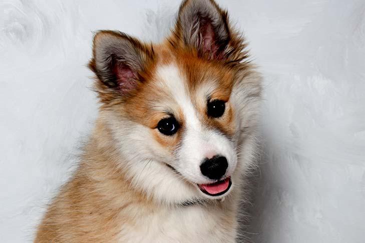 سگ لاندهوند نروژی
