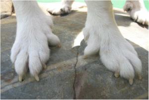 6 تا انگشت سگ لاندهوند نروژی
