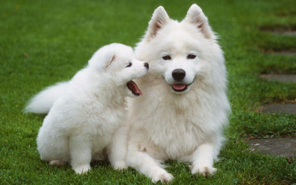 سگ ساموید برفی
