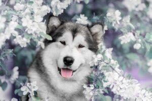 سگ مالاموت خوشحال
