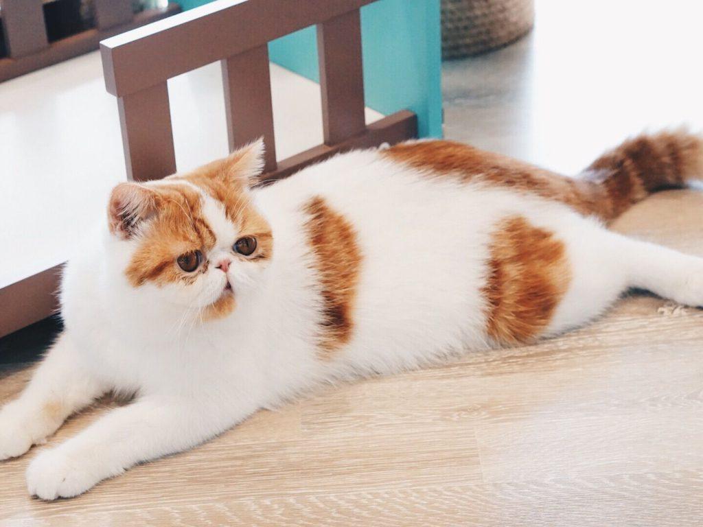 گربه پرشین دو رنگ