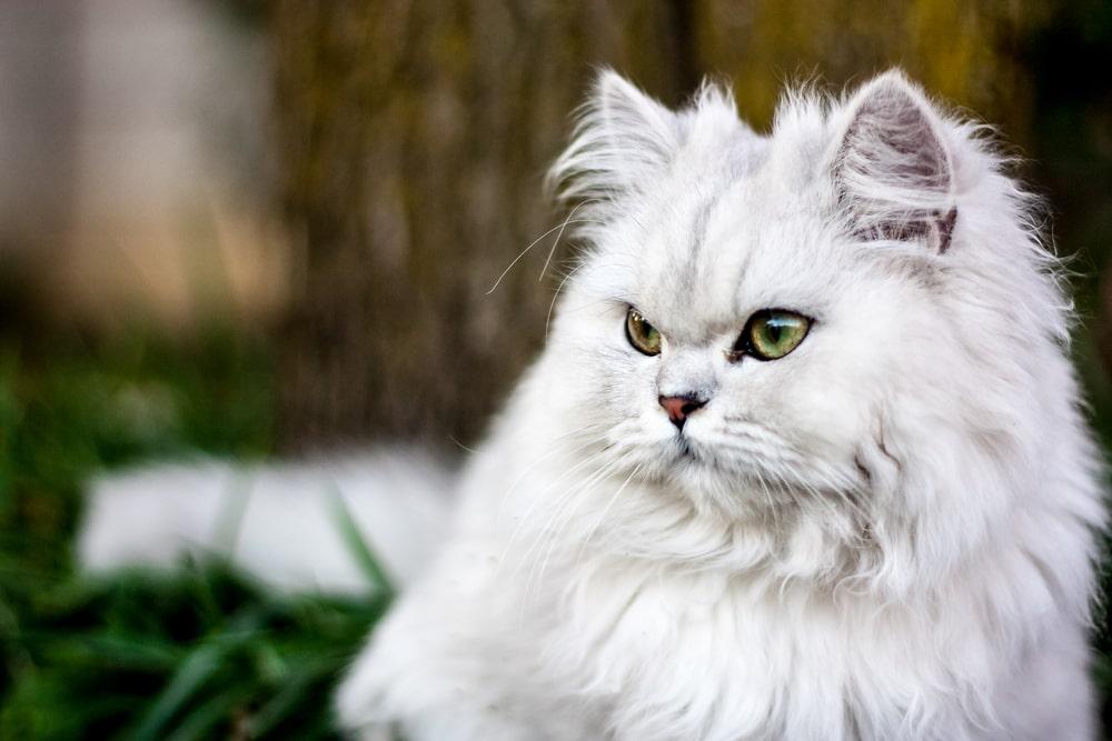 گربه پرشین چین چیلا