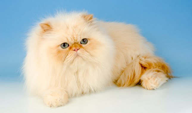 گربه پرشین سوپر فلت