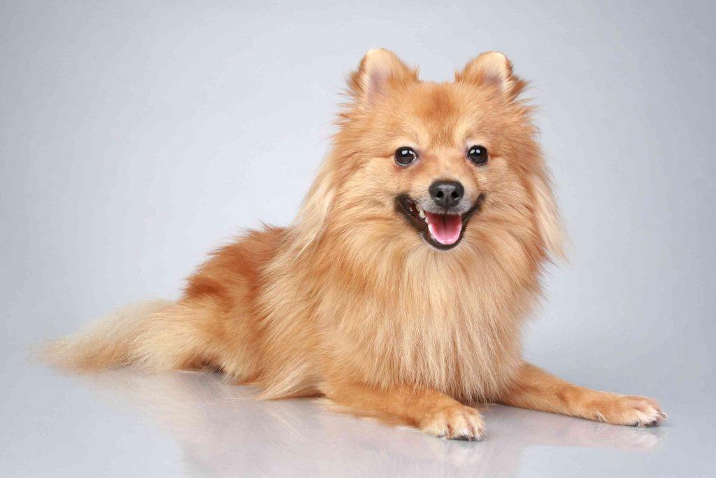 نژاد سگ ژرمن اشپیتز