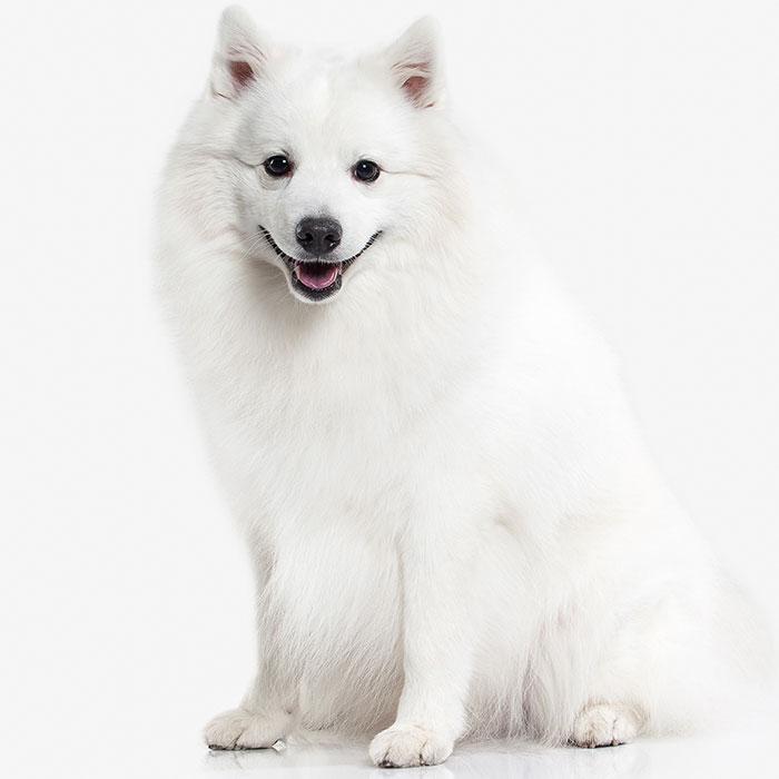 سگ اشپیتز سفید