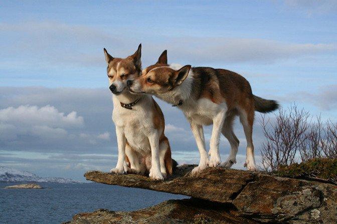 بوسیدن سگ نر توسط سگ ماده