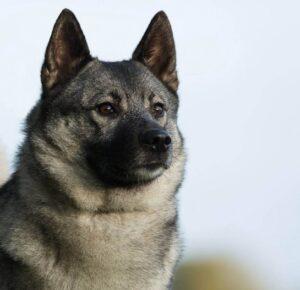 سگ الکهاند نروژی