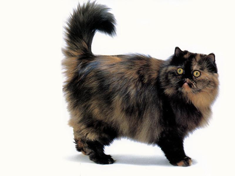 گربه پرشین پارتی کالر