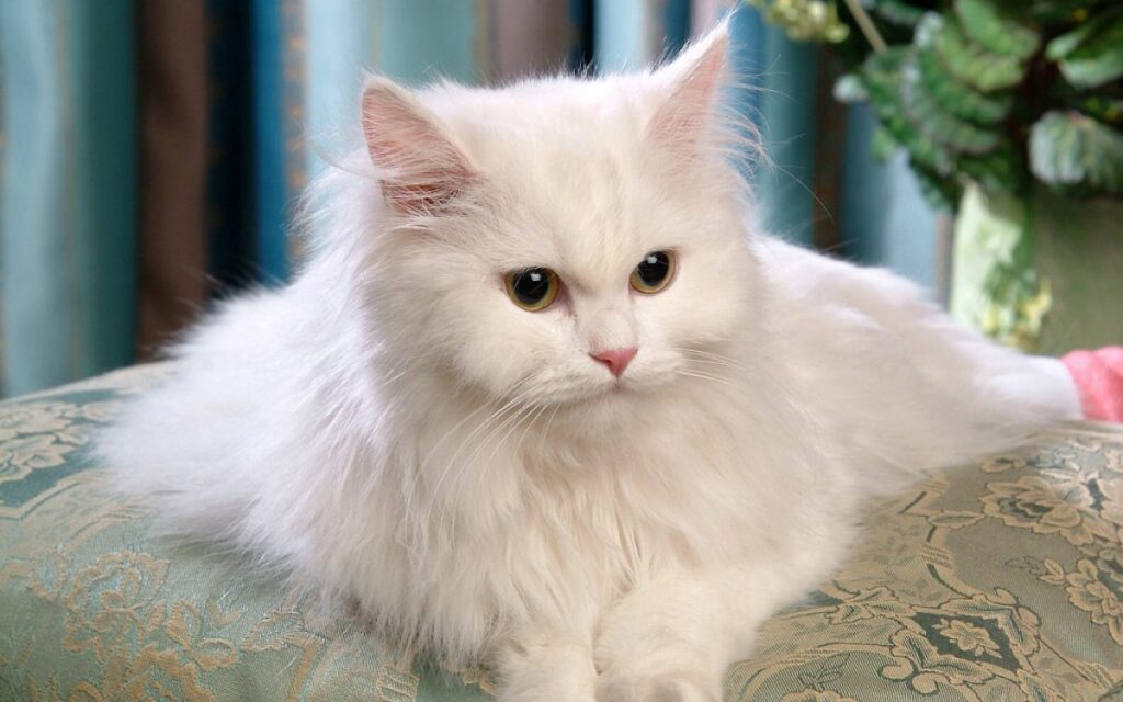 گربه پرشین کلاسیک