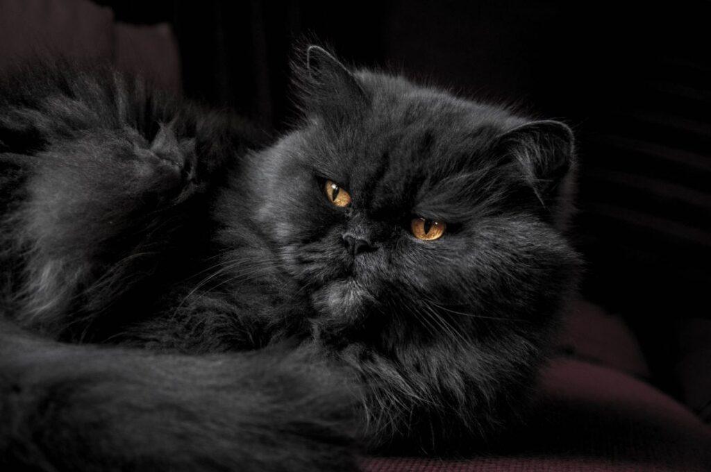 گربه پرشین مشکی