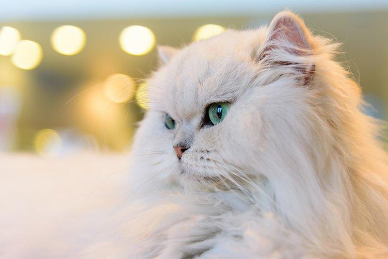 معرفی جامع گربه پرشین😻 و داستان این گربه ایرانی زیبا (+انواع پرشین و نگهداری)