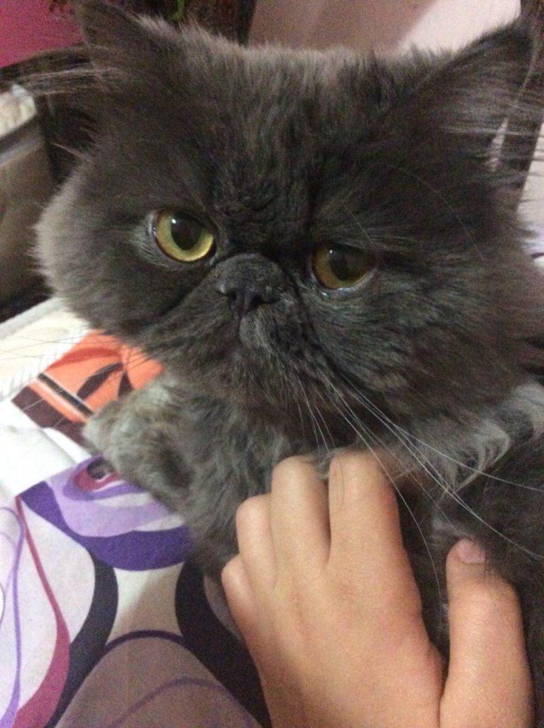 گربه اشلی