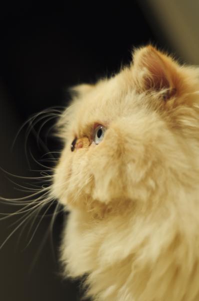 گربه پرشین سوپرفلت