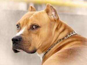 سگ پیبول بالغ