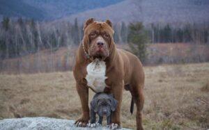 سگ پیتبول همراه توله اش
