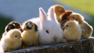 دوستی خرگوش با جوجه ها