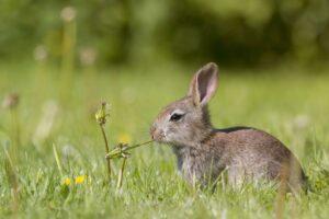 خرگوش در حال گل خوردن