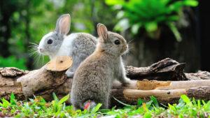 دو خرگوش زیبا در طبیعت