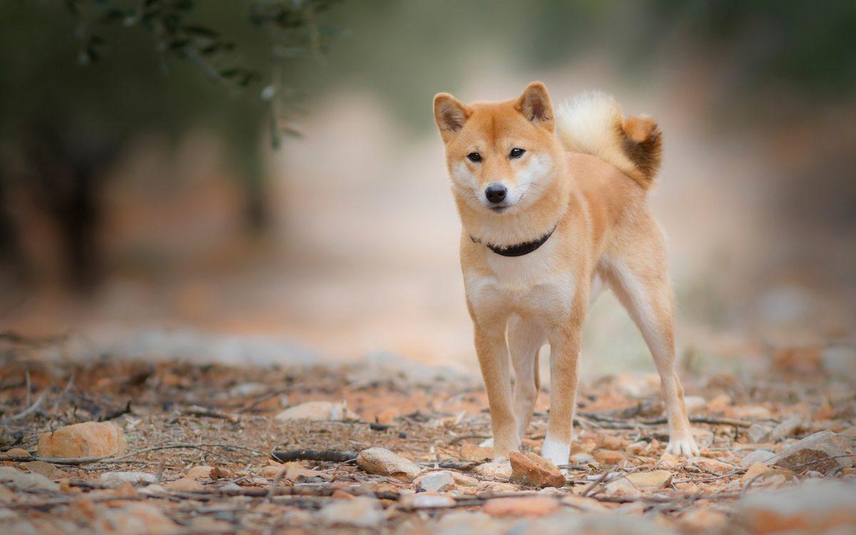 سگ شیبا اینو در طبیعت