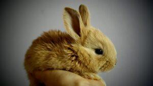 خرگوش فانتزی